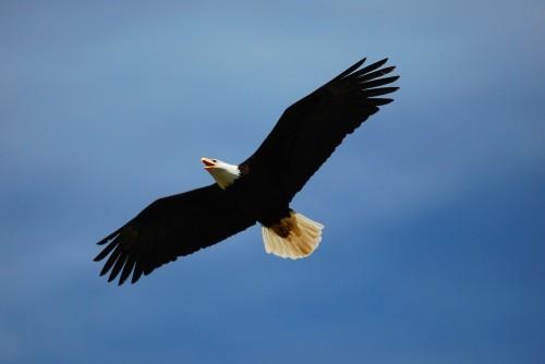 bigstock_Eagle_Flying_1655554