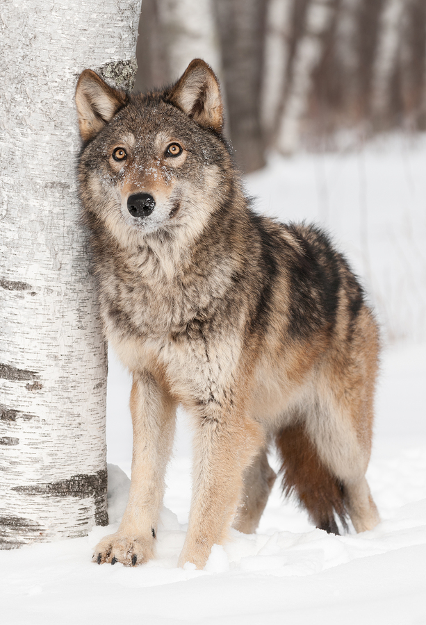 """an introduction to the nature of the wolves Wolves, bears, lynxes, and boars  while supporters of predator-reintroduction programs believe in the concept of restoring the """"balance of nature,"""" it's not."""